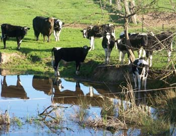 Cattle in a creek near Milawa, North East Victoria. Credit: Leanne Wells, Department of Health and Human Services)