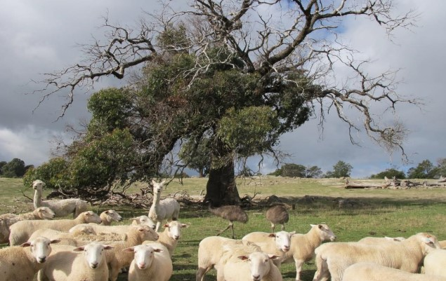 Sheep in a paddock underneath a large tree
